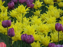 Цветы Тюльпаны весны Стоковое Фото
