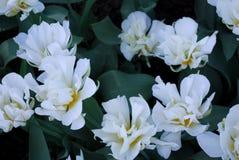Цветы Тюльпаны Стоковое Изображение