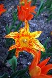 Цветы Тюльпаны Стоковое фото RF