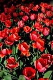 Цветы Тюльпаны Стоковое Изображение RF