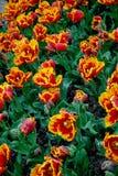 Цветы Тюльпаны Стоковые Фотографии RF