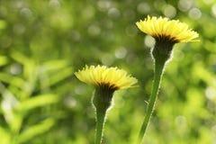 Цветы Флористическое красивое boke предпосылки Желтые цветки зацветают в расчистке в солнечности на летний день closeup стоковые изображения rf