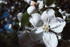 Цветы Blossoming яблоко, цветя яблоко Стоковая Фотография