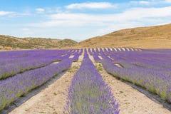Цветя лаванда на горных склонах Стоковое Фото