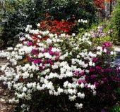 Цветя азалии Стоковое фото RF
