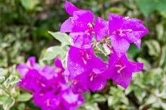 Цветя бугинвилия в цветочном саде Стоковые Изображения