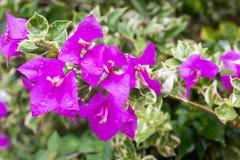 Цветя бугинвилия в цветочном саде Стоковые Изображения RF
