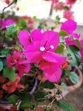Цветя бугинвилия Стоковое Изображение