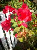 Цветя бугинвилия Стоковое Изображение RF