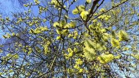 Цветя верба кустарников сток-видео