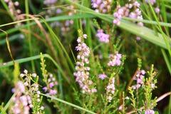Цветя верески Стоковое фото RF