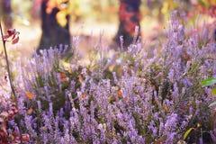 Цветя вереск в лесе Стоковые Фотографии RF