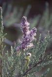 Цветя вереск Стоковая Фотография