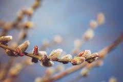 Цветя ветви вербы против голубого неба Стоковые Изображения