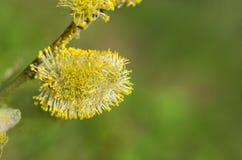 Цветя ветви вербы пустой космос экземпляра Стоковое Изображение RF