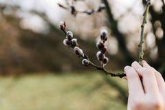 Цветя ветви вербы pussy в руке Стоковая Фотография