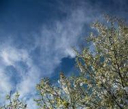 Цветя ветви весной против голубого неба Стоковое Изображение RF