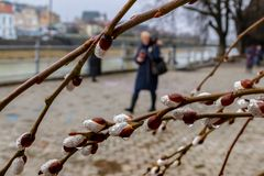 Цветя ветви декоративной вербы в предыдущей весне Стоковые Изображения RF