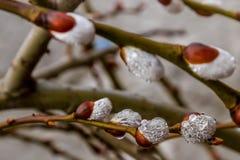 Цветя ветви декоративной вербы в предыдущей весне Стоковые Фото