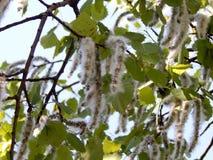 Цветя ветви дерева ольшаника Стоковые Фото