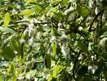 Цветя ветви дерева ольшаника Стоковое Фото