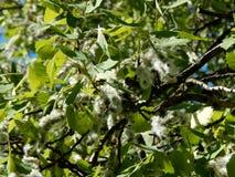 Цветя ветви дерева ольшаника Стоковая Фотография