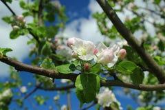 Цветя ветви дерева против неба Стоковое фото RF