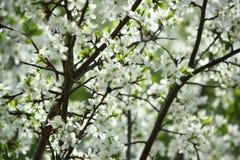 Цветя ветви дерева против неба Стоковые Фотографии RF
