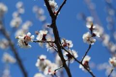 Цветя ветви дерева против неба Стоковая Фотография