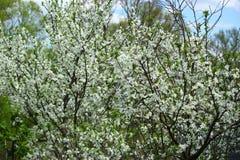 Цветя ветви дерева против неба Стоковые Изображения RF