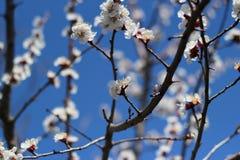 Цветя ветви дерева против неба Стоковое Изображение RF