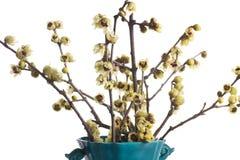 Цветя ветви отрезали от calicanto в баке Стоковая Фотография RF