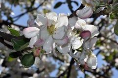 Цветя ветви яблони с белыми цветками и бутонами Стоковая Фотография