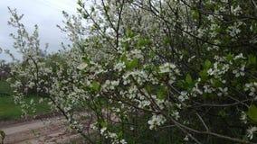 Цветя ветви Abrikov и пасмурная погода - ландшафт сток-видео