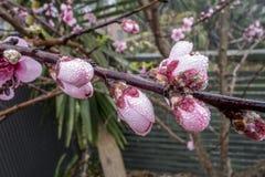 Цветя ветвь вишни покрытая с росой стоковые фотографии rf