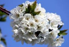 Цветя ветвь вишни vignola, Моденаа стоковые фото