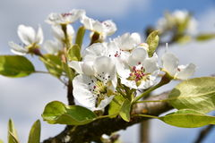 Цветя ветвь грушевого дерев дерева весной Стоковые Фото