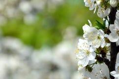 Цветя ветвь дерева абрикоса Раньше цвести деревьев в Ap Стоковые Изображения