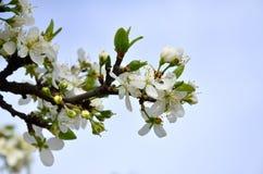 Цветя ветвь дерева абрикоса Раньше цвести деревьев в Ap Стоковая Фотография
