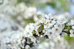 Цветя ветвь дерева абрикоса Раньше цвести деревьев в Ap Стоковое Изображение RF