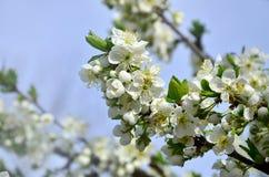 Цветя ветвь дерева абрикоса Раньше цвести деревьев в Ap Стоковые Фотографии RF