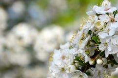 Цветя ветвь дерева абрикоса Раньше цвести деревьев в Ap Стоковое фото RF