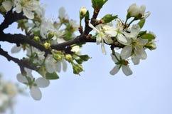 Цветя ветвь дерева абрикоса Раньше цвести деревьев в Ap Стоковое Фото