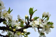 Цветя ветвь дерева абрикоса Раньше цвести деревьев в Ap Стоковые Изображения RF