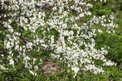 Цветя ветвь дерева на предпосылке зеленой травы стоковое фото rf