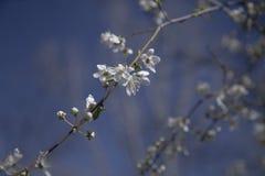 Цветя ветвь дерева Стоковые Фото
