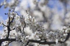 Цветя ветвь дерева Стоковые Изображения