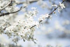 Цветя ветвь дерева Стоковые Изображения RF