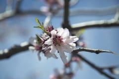 Цветя ветвь дерева Стоковое Фото