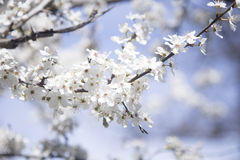 Цветя ветвь дерева Стоковые Фотографии RF